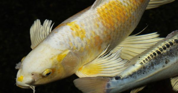 White koi fish photo titled white and yellow yamabuki for Koi fish quotes