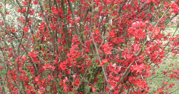 Flowering Quince / ATTRACTS: Butterflies. Plant with Butterfly Bush which also attracts