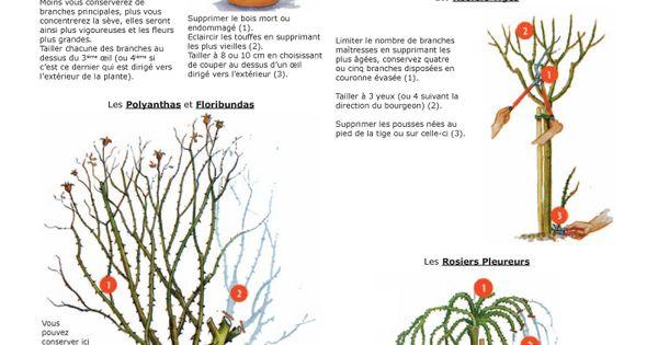 La taille des rosiers hybrides de th miniatures arbustes anglais polynathas floribundas - Taille des rosiers grimpants ...