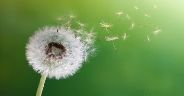 Dandelion Seeds In The Morning Sunlight Blowing Away Across A Fresh Green Background Photographic Print Flynt Allposters Com Dandelion Benefits Dandelion Natural Allergy Relief