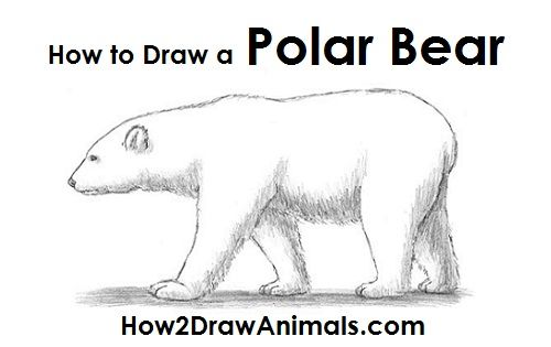 Polar Bear Drawinghttp://www.how2drawanimals.com/8-animals