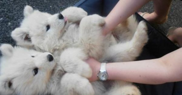 Siberian Samoyed Puppies - Polar Bear Dogs