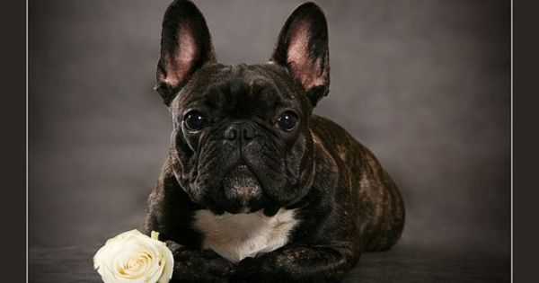 Beautiful Brindle And Rose French Bulldog Names French