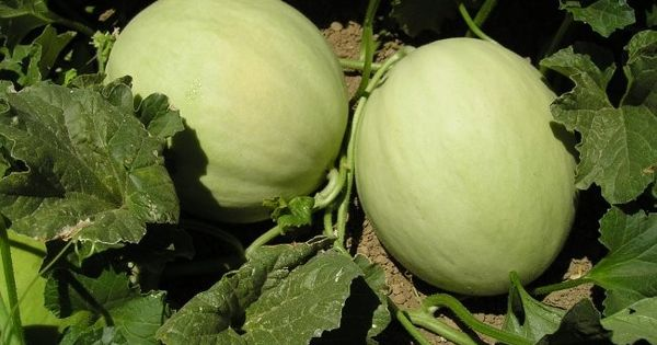 how to grow yellow honeydew melons