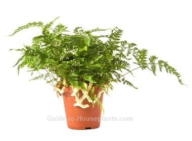 Indoor Rabbit Foot Fern care tips. Find out how to grow ... on rabbit foot fern, goose foot house plant, elephant foot house plant, rabbit foot green,