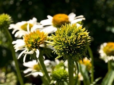 Aster Yellows On Flowers Information On Controlling Aster Yellows Disease Plant Problems Plants Outside Plants