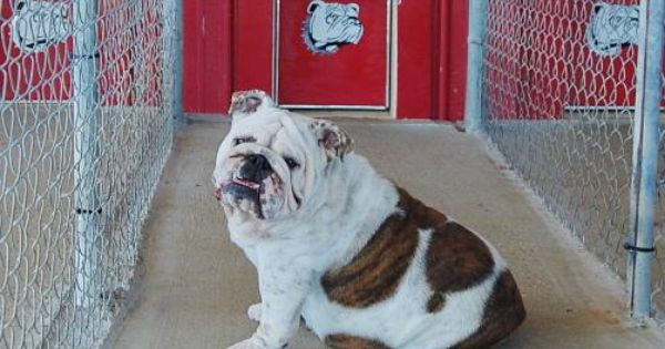 English Bulldogs For Sale English Bulldog Puppies Bulldog Breeders