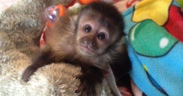 capuchin, spider, marmoset, squirrel monkey & Kinkajou