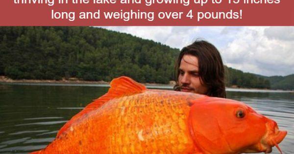 Huge goldfish in lake tahoe wtf fun facts true holy for Lake tahoe fish