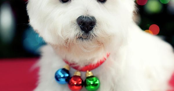 Westies are the perfect Christmas picture dogs!