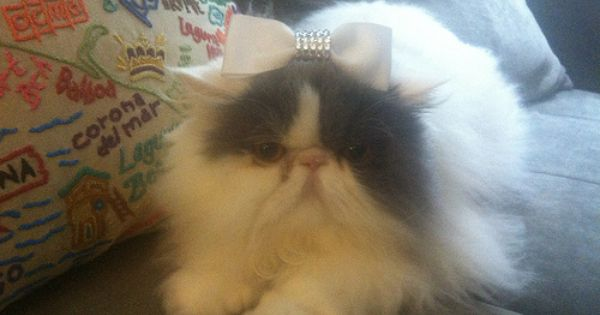 Coco Chanel Is A Calico Persian Coco Deserves To Win Because She Is Sweet And Sassy But Always Loves To Cuddle B Cat With Blue Eyes Cat Person Pamper Pets