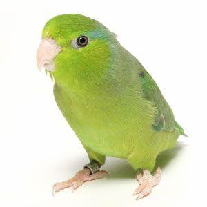 Parrotlets Pint Sized Parrots Parrotlet Pet Supplies Plus Parrot