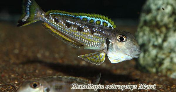 Xenotilapia ochrogenys 4 5 peaceful tanganyikan sand for Peaceful freshwater fish