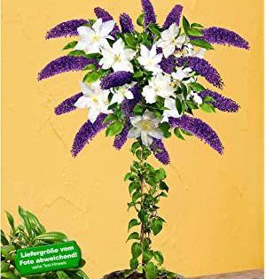 Baldur Garten Chimaren Goldregen 1 Pflanze Laburnocytisus Adamii Edel Goldregen Amazon De Garten Pflanzen Clematis Pflanzen Online Kaufen
