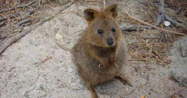 Perth Perth Perth! quokka australia native animal