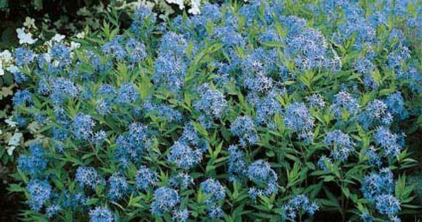 Amsonia Tabernaemontana Known Also As Eastern Bluestar Blooming