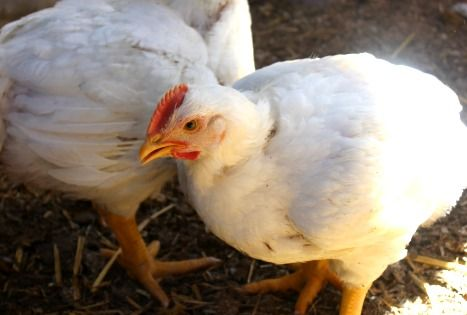 10 Tips to Raising Meat Chickens - Part 1 of Raising Chickens