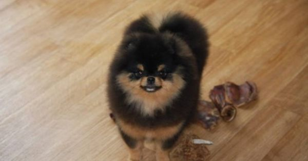 Pommania Pomeranians Puppies Available Pomeranian Puppy