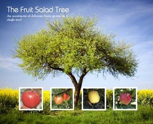 4 In 1 Apple Tree Apple Specialty Trees Pear Varieties Apple Tree Fruit Salad Tree