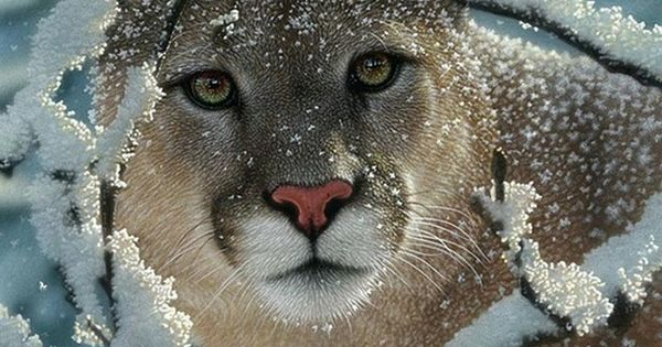 Mountain Lion C 470 Did you know that coug...