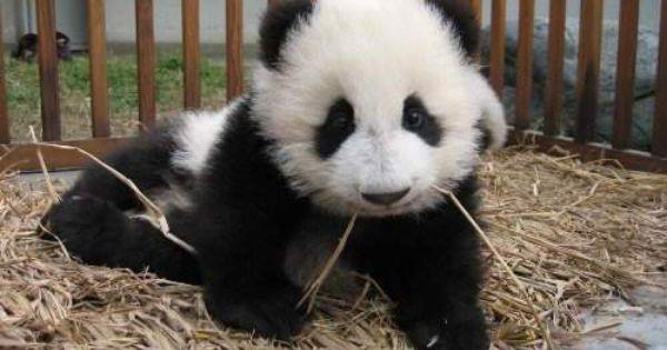 Imagen tierna oso panda bebe [25-1-16] | Imagenes de osos ...