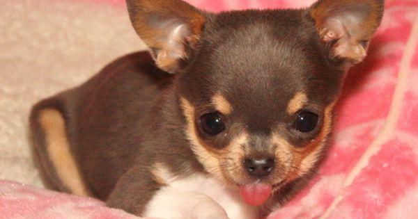 Spunkypaws Chihuahuas Spunky Lil Clear Blue Skye Bred By Dana