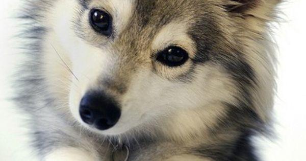 Freyja - www.nornirkleekai.com - a Klee Kai - cute! - dog puppy
