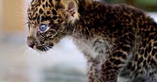 Baby Leopard with blue eyes, awwwwhhhh!