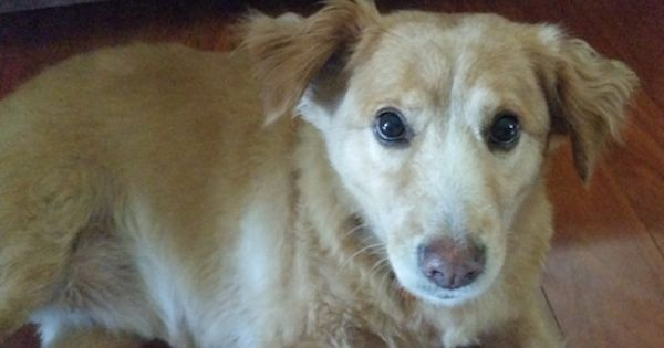 Goldenshire Golden Retriever X Yorkshire Terrier