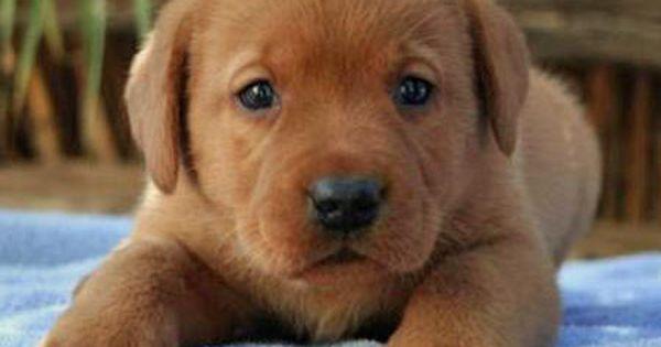 Fox Red Labradors Are Pretty Darn Cute Too Labrador Retriever Red Lab Puppies Fox Red Labrador