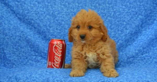 Island Puppies Cavapoo Puppies Cavapoo Puppies For Sale Puppies