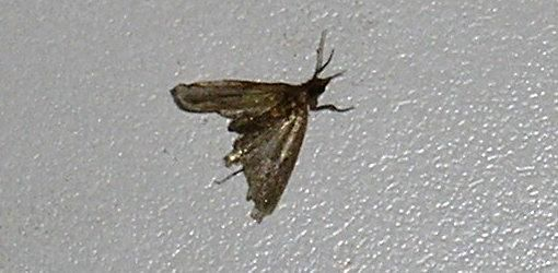 How To Get Rid Of Pantry Moths And Larvae In Your Kitchen Pantry Moths Moth Moths In House