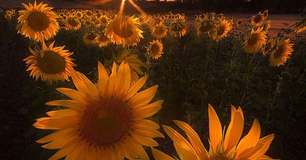 Sunset in sunflower field, Spain