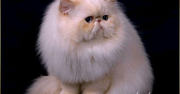 Persian Cat Szukaj W Google Cats Persian Cat Cat Love