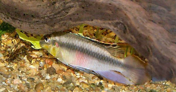 Kribensis Cichlid Cichlids African Cichlids Fish