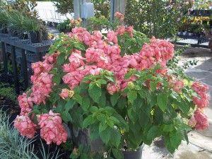 Mussaenda Pink Flower Landscape Pink Flowers Garden Growth