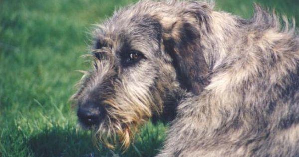Irish Wolfhound Photo Irish Wolfhound Puppies Dog Puppy Site Irish Wolfhound Irish Wolfhound Puppies Wolfhound