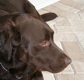 Labrador For Sale Kent Mush Have Labradorforsalenearme
