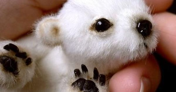 Cute baby polar bear cub! :)