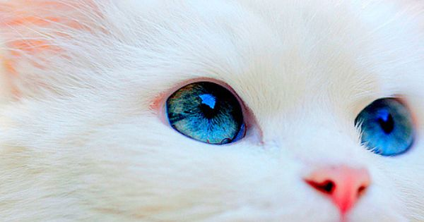 Bright Blue Eyes Pretty Cats Cat With Blue Eyes Cute Animals