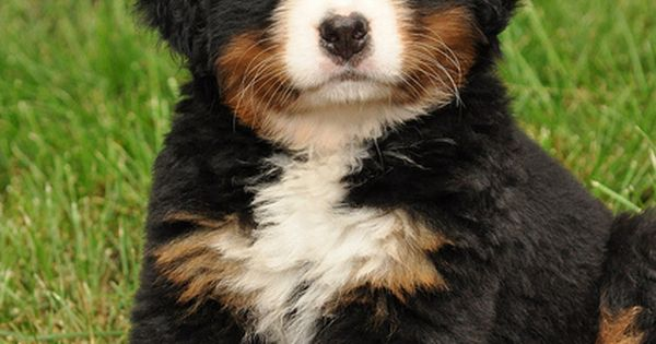 Dixon was the cutest puppy ever! Bernese Mountain Dog