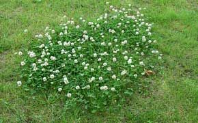 4572197465bf289228e6791b75dbd675 - How To Get Rid Of Clover Patches In Lawn