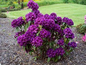 Purple Rhododendron Landscaping Shrubs Cottage Garden Plants