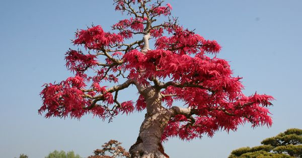 Bonsai a visual little miracle by japanese art - Como se cuida un bonsai ...