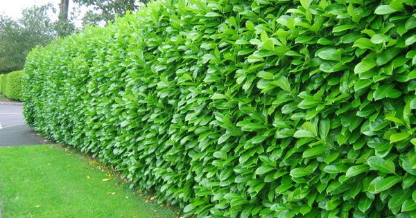Cherry Laurel Hedge Google Search Landscaping