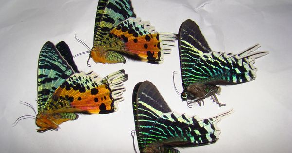 Uraniidae Actias