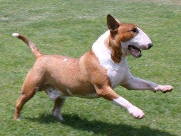 Red Bull Terrier Bull Terrier English Bull Terriers English Bull