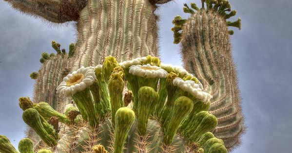 Giant Saguaro Cactus in Bloom--I never got to see one in bloom