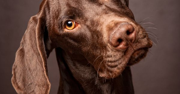 Cute dogs beautiful chocolate lab Cute Pets