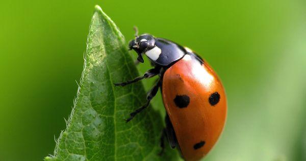 Cocinelle 5 insectes pinterest insectes et animal - Sel desherbant naturel ...